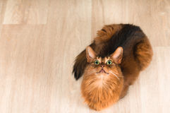 Somali cat portrait. Purebre Somali cat ruddy color portrait at studio royalty free stock image