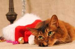 Somali cat portrait with Santa hat. Near her Royalty Free Stock Photography