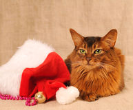 Somali cat portrait with Santa hat. Near her Royalty Free Stock Images
