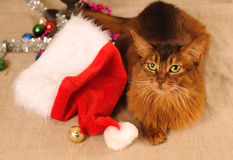 Somali cat portrait with Santa hat. Near her Stock Photography