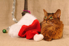Somali cat portrait with Santa hat Royalty Free Stock Images