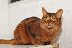 Somali cat portrait. Sitting in front of white wall Royalty Free Stock Photography
