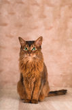 Somali cat portrait. Somali cat sitting and looking at camera portrait at studio Stock Photo