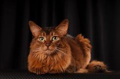 Somali cat portrait. Somali cat studio portrait on black background stock image
