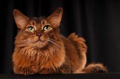 Somali cat portrait. Somali cat studio portrait on black background royalty free stock photos