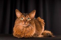 Somali cat portrait. Somali cat studio portrait on black background stock photo