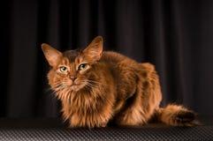 Somali cat portrait. Somali cat studio portrait on black background royalty free stock photo