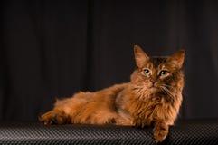 Somali cat portrait. Somali cat studio portrait on black background royalty free stock images