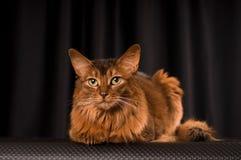 Somali cat portrait. Somali cat studio portrait on black background stock images