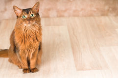 Somali cat portrait. At studio with copy space Royalty Free Stock Photography