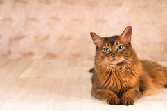 Somali cat portrait. At studio with copy space Stock Photo
