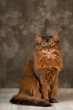 Somali cat portrait at studio. On wooden floor Royalty Free Stock Images