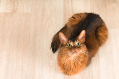 Somali cat portrait top view. On parquet and lookign at camera Stock Photos