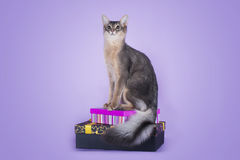 Somali cat on a purple background isolated.  Royalty Free Stock Images