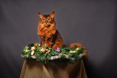 Somali cat ruddy color Christmas portrait. At studio on grey background Royalty Free Stock Photography