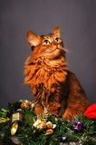 Somali cat ruddy color Christmas portrait. At studio on grey background Stock Photo