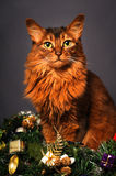 Somali cat ruddy color Christmas portrait. At studio on grey background Royalty Free Stock Image