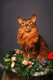 Somali cat ruddy color Christmas portrait. At studio on grey background Royalty Free Stock Photos
