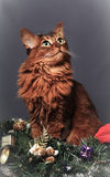 Somali cat ruddy color Christmas portrait. At studio on grey background royalty free stock images