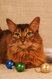 Somali cat ruddy color holiday portrait. Somali cat with Christmas decoration on beige royalty free stock image