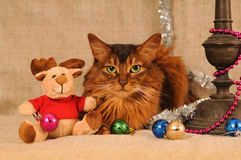 Somali cat ruddy color holiday portrait. Somali cat with Christmas decoration on beige Royalty Free Stock Photos