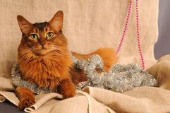 Somali cat ruddy color holiday portrait. Somali cat with Christmas decoration on beige Stock Photo