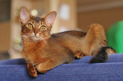 Somali cat ruddy color portrait on blue sofa. Somali cat ruddy color lying on blue sofa and looking at camera portrait Royalty Free Stock Photography
