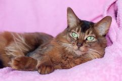 Somali cat ruddy color portrait. Lying on sofa with pink plaid cover royalty free stock image