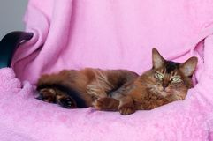 Somali cat ruddy color portrait. Lying on sofa with pink plaid cover royalty free stock photo