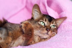 Somali cat ruddy color portrait. Lying on sofa with pink plaid cover royalty free stock photos