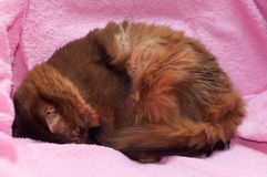 Somali cat ruddy color portrait. Sleeping on sofa with pink plaid cover curled up stock photo