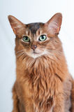 Somali cat ruddy color portrait. At sudio royalty free stock images