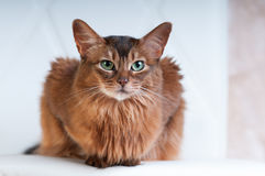 Somali cat ruddy color portrait. At sudio royalty free stock image