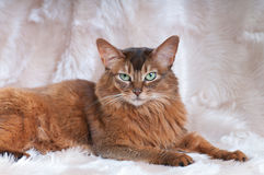 Somali cat ruddy color portrait. At sudio royalty free stock photos