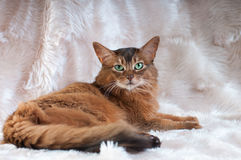 Somali cat ruddy color portrait. At sudio royalty free stock photography