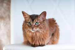 Somali cat ruddy color portrait. At sudio stock photo