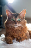 Somali cat ruddy color portrait. At sudio stock photography