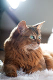 Somali cat ruddy color portrait. At sudio stock image