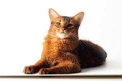 Somali cat ruddy color on white background. Purebred Somali cat ruddy color on white background stock image