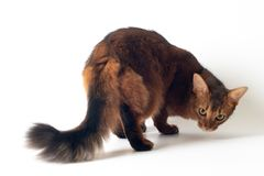 Somali cat ruddy color on white background. Purebred Somali cat ruddy color on white background rear view turn back royalty free stock image