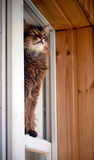 Somali cat seating in a window Stock Photo