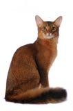 Somali Cat Sits Isolated On White Stock Images