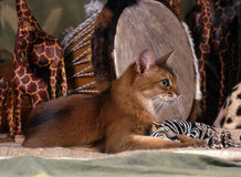 Somali cat. Sitting on a green background with african setup in the back Stock Image