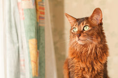 Somali cat sitting portrait. Somali cat portrait at home near curtains looking aside with copy space royalty free stock photo