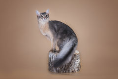 Somali cat sitting on a tree stump in the studio.  Stock Photo