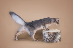 Somali cat sitting on a tree stump in the studio.  Royalty Free Stock Photography