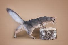 Somali cat sitting on a tree stump in the studio.  Stock Images