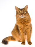 Somali cat sitting on white background. Show champion Somali cat sitting on white background royalty free stock photos