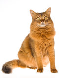Somali cat sitting on white background. Show champion Somali cat sitting on white background royalty free stock image