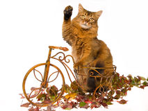 Somali cat waving, on mini brown bicycle. Show champion Somali cat sitting inside mini brown bicycle with autumn leaves, on white background royalty free stock photo